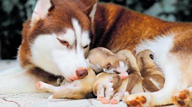 Médicos veterinarios recomiendan que los cachorros se amamanten mínimo un mes.