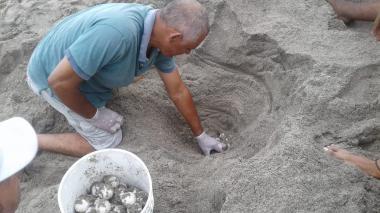 Tortugas marinas llegan a playas del Tayrona para su proceso de anidación
