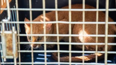 El puma yagouaroundi que regresó a su hábitat.