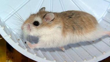 Los investigadores hicieron las pruebas con dos grupos de roedores infectados. A uno se le suministró una vacuna  que produjo una inducción de anticuerpos neutralizantes contra el SARS-CoV-2.