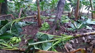 Vendaval arrasó con más de 180 hectáreas de plátano en Moñitos
