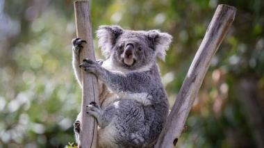 Koalas en el este de Australia podrían extinguirse para el 2050