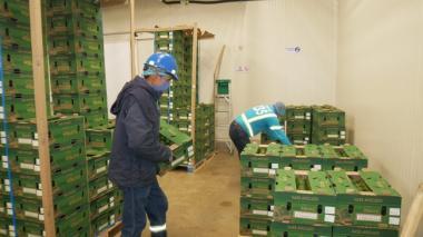 Por puerto de Santa Marta salieron a Miami 1.920 cajas con aguacate Hass
