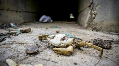 Partes de un cangrejo en la entrada de uno de los box culvert instalados para el paso de fauna.