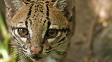 El ocelote es una de las especies felinas que vive en el Zoológico. Su alimentación y cuidado veterinario estaría en riesgo por la crisis que generó la pandemia.