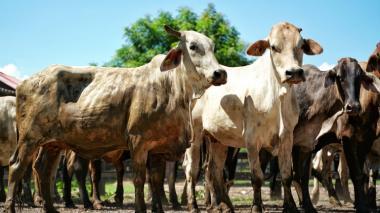 Estas son algunas de las novillas vientre doble propósito para pequeños productores de Bolívar entregadas por la Agencia de Desarrollo Rural.