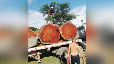 Atentado contra árboles milenarios en la Mojana y el San Jorge