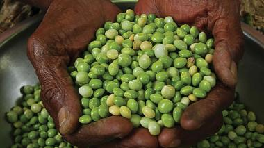 Agrosavia busca impulsar productividad de frijol guandul