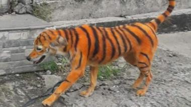 ¡Maltrato animal!, en Malasia pintan a un perro como si fuera un tigre
