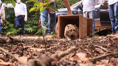 Liberación de un felino en su hábitat natural por parte de Corpocesar.