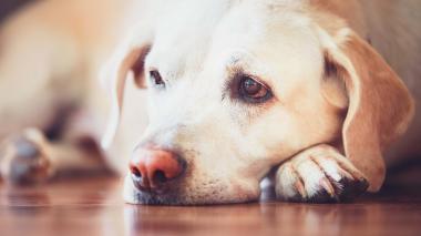 ¿Cómo identificar la anemia canina?
