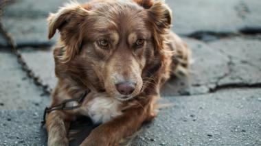 Conozca las graves consecuencias de atar a su mascota