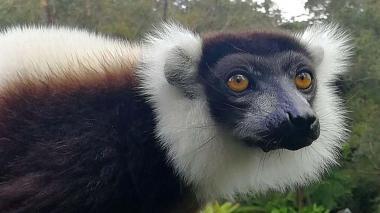 Un lémur blanco y negro (Varecia variegata) en Ranomafana, Madagascar.