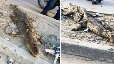 Encuentran babilla muerta junto a su cría en Soledad