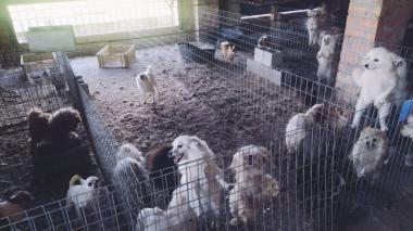 Detienen a dueño de criadero ilegal que cortó las cuerdas vocales a 34 perros