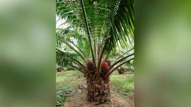 Híbrido salva la producción de Palma de Aceite en el Magdalena