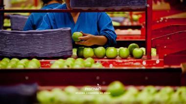 Un operario selecciona manzanas a exportar.