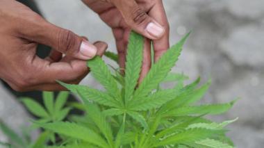 Uso de marihuana en el país se concentra en los jóvenes