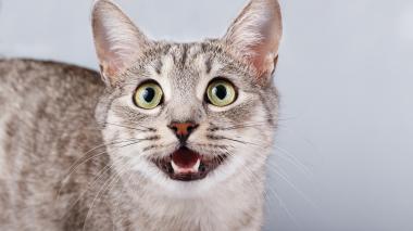 Crean app que ayuda a entender el maullido de los gatos