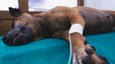 Parvovirus: una amenaza para los caninos