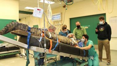 Operan a una hembra de cocodrilo para sacarle un zapato que tenía atorado