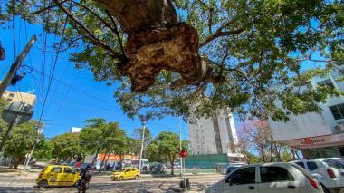 Bongas de El Prado, amenazadas por las brisas y el comején