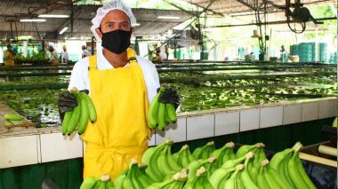 Pandemia no detuvo exportación del banano cultivado en la región Caribe