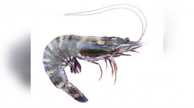 El camarón tigre y otras especies invasoras que amenazan el Caribe