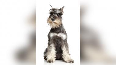 Conozca los cuidados que debe tener con su perro de raza pequeña