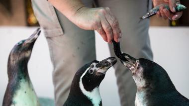 Pingüinos de Humboldt aprenden a vivir con la ceguera