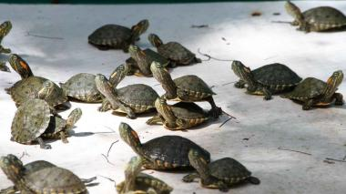 Nacen 1.150 tortugas hicoteas en el Centro de Fauna de Cerrejón