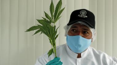 El cannabis medicinal, una oportunidad de oro verde en el campo colombiano