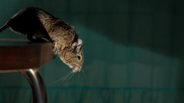 Hombre desesperado por la pandemia adoptó 5 ratas y echó a su novia de la casa