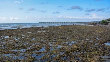 Playas de Puerto Colombia son invadidas por tarullas