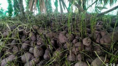 Abrirán mercado a toneladas de ñame represado en Córdoba