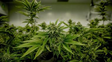 A segundo debate regulación de uso de cannabis para adultos