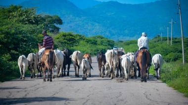 El SOS de los ganaderos de la región Caribe