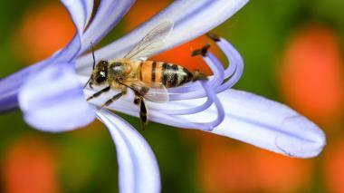 Apicultores piden proteger a las abejas y parar intoxicaciones