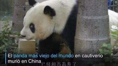 Muere el panda más viejo del mundo en cautiverio