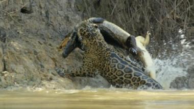 Impactante video muestra la fuerza de un jaguar al matar a un cocodrilo