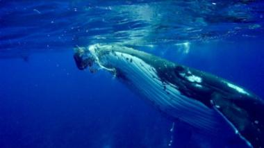 En video | Así fue como una ballena protegió a una buzo de la amenaza de un tiburón