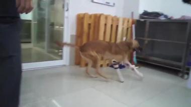 Este es el emotivo momento de un perro cuando usa prótesis por primera vez