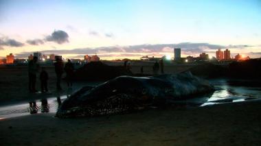 Muere una ballena encallada en Mar del Plata, Argentina