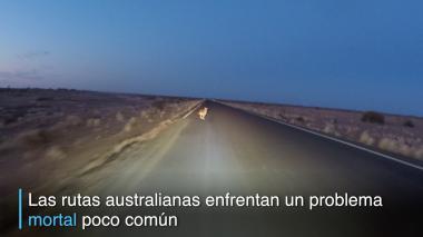 Canguros y sequía, llave mortal en carreteras australianas