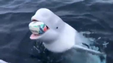 En video | Divertido momento en que ballena juega al balón con un marinero