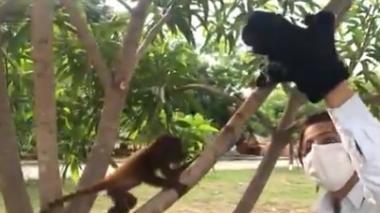 En video | Con peluches, enseñan a monos huérfanos a trepar árboles