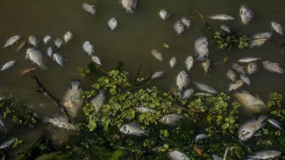 Más peces muertos en El Cisne; CRA habla ahora de una posible bacteria