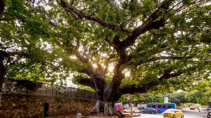 Las 12 especies de árboles que protegerá el Distrito