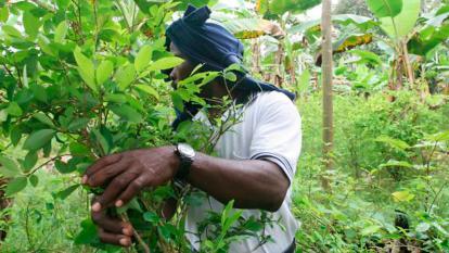 Los cultivos de coca aumentaron un 52% en 2016.