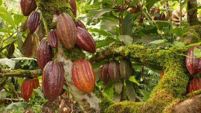 Conforman Comité Técnico del Cacao en el Magdalena